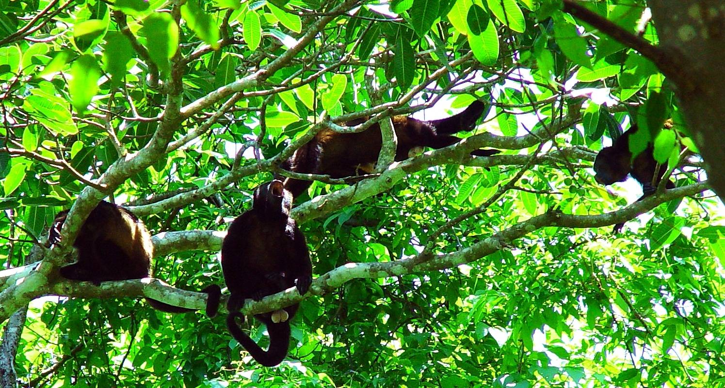Howler-Monkeys